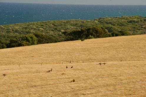 Känguruherde am Bells Beach