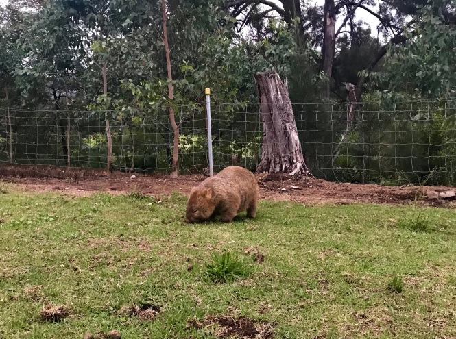 Schnorpsender Wombat