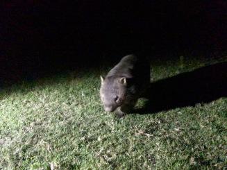 Nächtlicher Fund - dicker Wombat