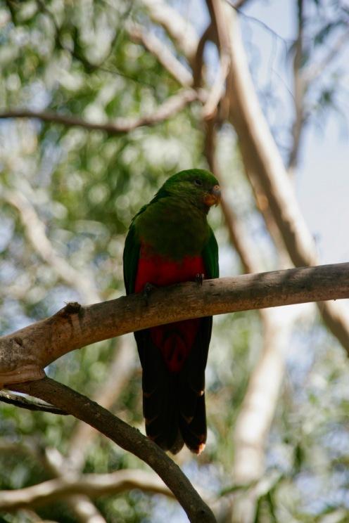 Bunte Vögel am Kennett River