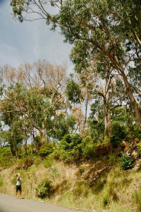 Ausschau halten nach Koalas am Kennett River