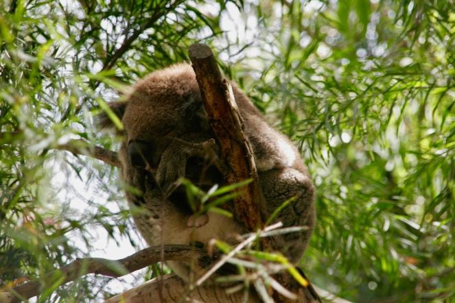 Unser erster Koala am Kennett River