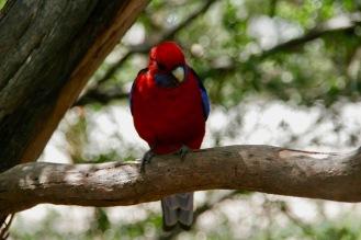 Papagei am Kennett River