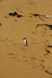 Einsamer Pinguin in Moeraki