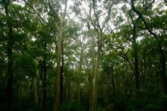 Murramarang - mystischer Wald
