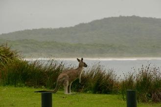 Erstes Känguru von ganz nah