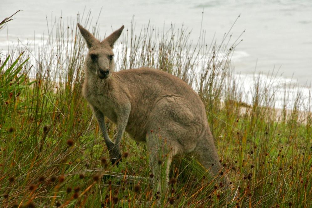 Cooles Känguru am Murramarang Strand