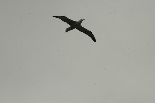 Otago Albatrosse