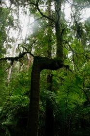 Krumme Bäume im Otway Nationalpark