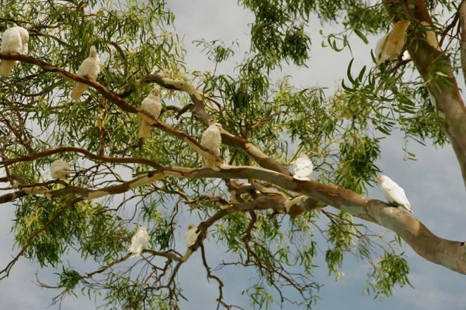 Laute Kakadus auf Raymond Island