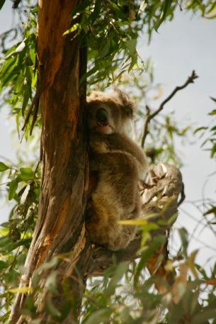 Mama schläft auf dem Baum auf Raymond Island