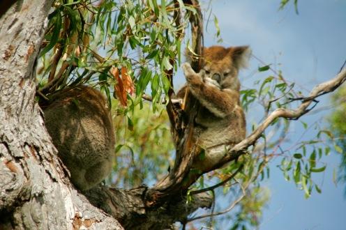 Koalas auf Raymond Island