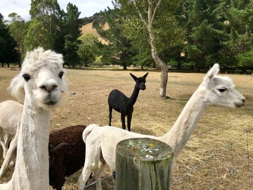 Riverside Lamas begrüßen uns