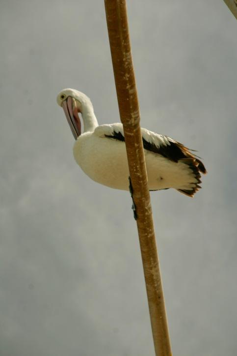 Pelikan in Wollongong