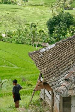 Momentaufnahme bei den Jatiluwih Reisterrassen