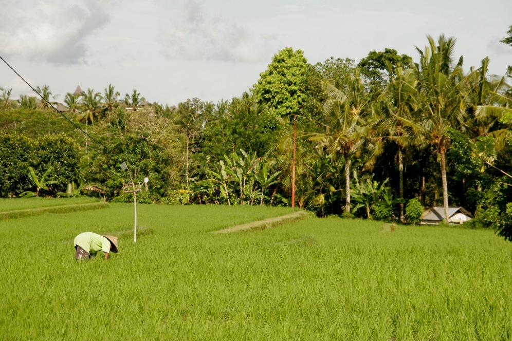 Reisfelder beim Campuhan Ridgewalk