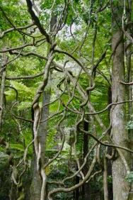 Lianen im Blue Mountains Wald
