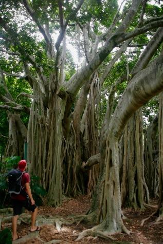 Riesige Bäume im Botanischen Garten