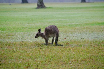 Kleines Känguru in Bulahdelah