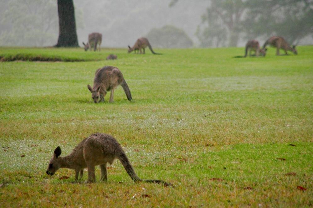 Ganz viele Kängurus freuen sich über ganz viel Regen