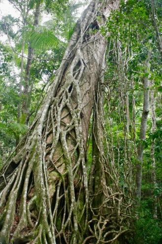 Feigenbaum auf Fraser Island