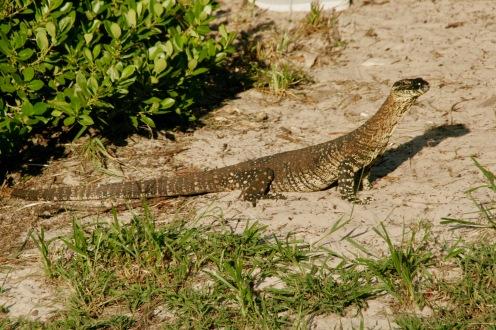 Iguana auf Fraser Island