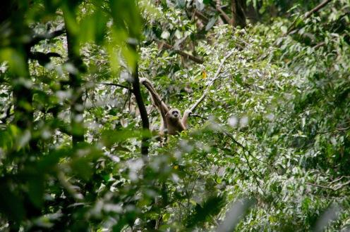 Gibbon in Bukit Lawang