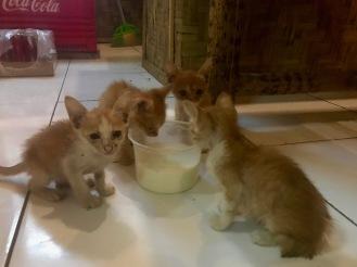 Katzenbabies in Kuta