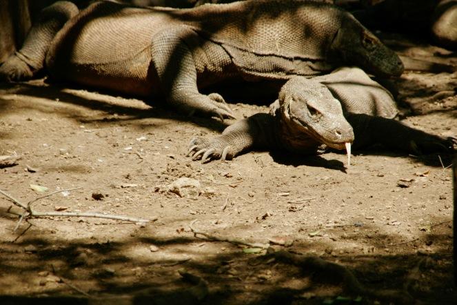 Komodo Dragons auf Rinca Island