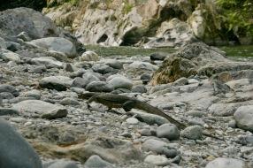 Leguan am Fluss bei Bukit Lawang