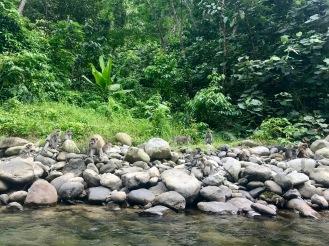 Makaken am Rande des Flusses
