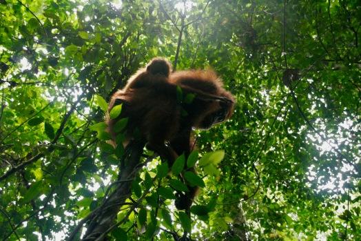 Mama Orang Utan mit Baby auf dem Rücken