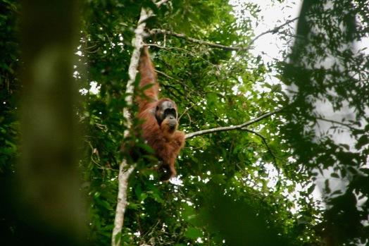 Männlicher Orang Utan im Dschungel