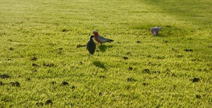 Bunte Vögel in Mullumbimby