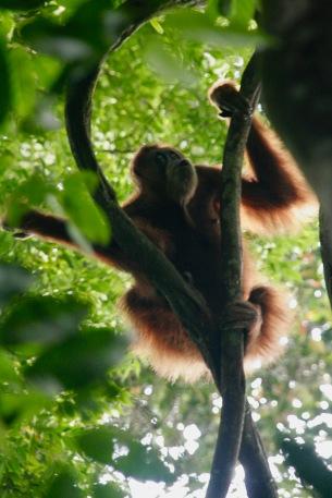 Orang Utan zeigt seinen Kussmund
