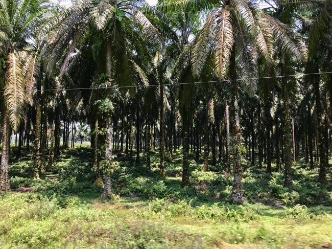 Palmölplantagen wohin das Auge reicht