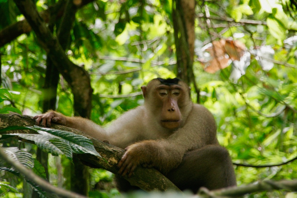 Pavian im Dschungelcamp