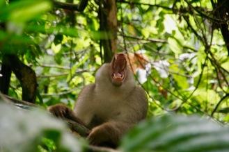 Pavian zeigt seine Zähne