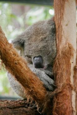 Gerettete aber verletzte Koalas in Port Macquarie