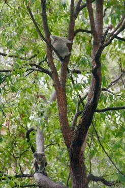 Kleine Koalas im Port Macquarie Koala Hospital