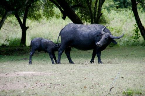 Wasserbüffel mit Baby