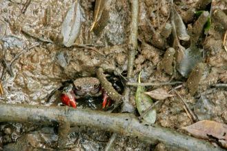 Krebs versteckt zwischen den Mangroven