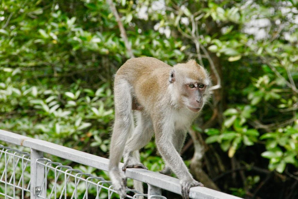 Nahaufnahme vom Makaken auf Pulau Ubin