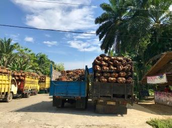 Palmölfrüchte für die Verarbeitung zu Palmöl