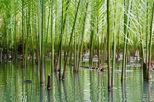 Palmen im Abatan River