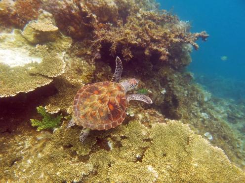 Schildkröte in den Gewässern rund um Port Barton