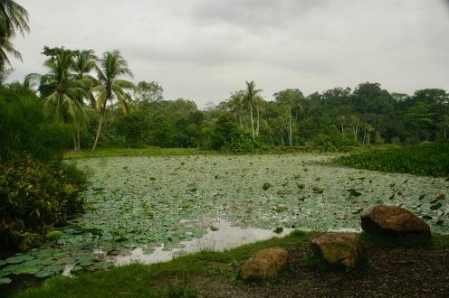 Teich mit Seerosen auf Pulau Ubin