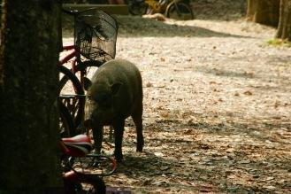 Wildschwein auf Pulau Ubin