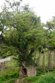 Baum mit kleinem Tempel bei der ersten Wanderung
