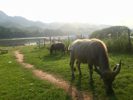 Büffel in Pak Ou am Mekong